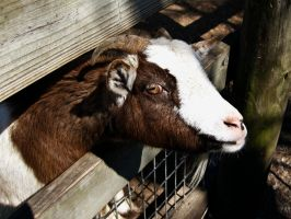 Goat IV by Baq-Stock