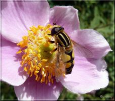 European Hoverfly by Lupsiberg