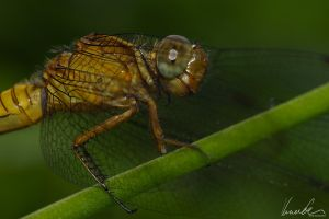 Dragonfly #05 by vetchyKocour