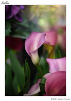 Calla by eagle79