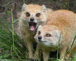 Yellow Mongooses by Henrieke