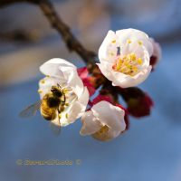 Bee on Apricot blossom nipping nectar by GerardPhoto