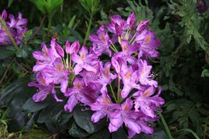 Pink Rhododendron by Azagh