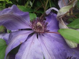 Clematis by irkdevine