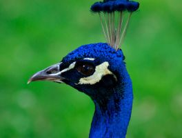 Portrait of a Peacock by margimadness
