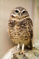 Burrowing Owl by blepfo