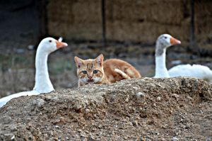 cat and geese by abzegh