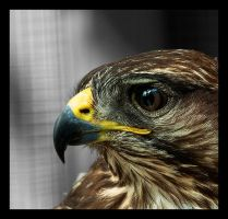 Buzzard by Skia