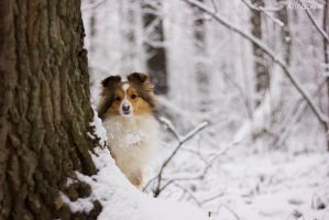 Snow sheltie by Aannabelle