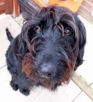 Zoe the black labradoodle by Lishu