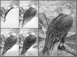 Bald Eagle stages by markstewart