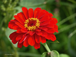 Hot red zinnia by Mogrianne