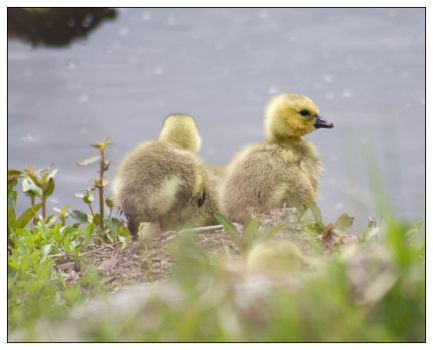 Canadian Goose Chick by Sparten