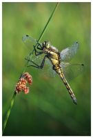Black-tailed Skimmer by Natalieb78