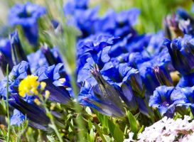 Gentian Bed by ARC-Photographic