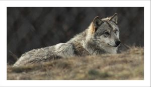 Canis Lupus by Annabelle-Chabert