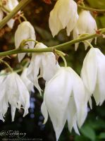 White bells by selinmarsou