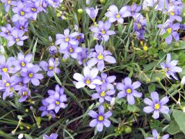 Blue-eyed Grass II by Neriah-stock