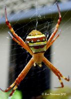 St Andrew's cross spider by BreeSpawn