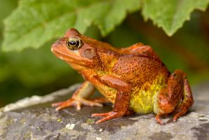 British Red Common frog by AngiWallace