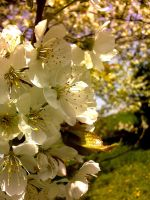 Cherry Blossom by Nenthil