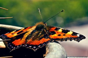 Butterfly 2 by Niccolet