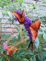 Butterfly 2 1046 by EchoingDroplet