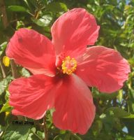 The Hibiscus by GreenNexus51
