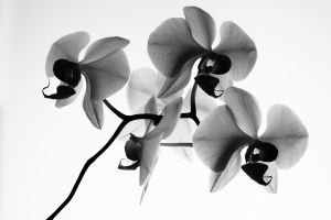 mono Angry Orchids by right-angle