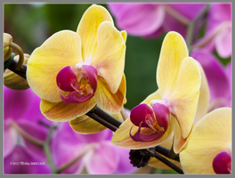 Yellow and Fushia Orchid by Mogrianne