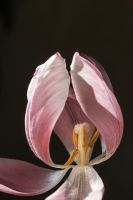 last days of a tulip... by clochartist-photo