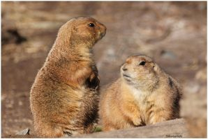 Prairie Dog Poses 5 by SilkenWinds