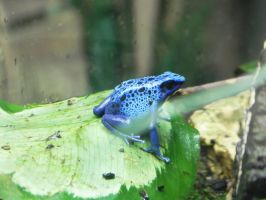 Blue Frog by willowdiamond