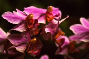Praying Orchids by shandya