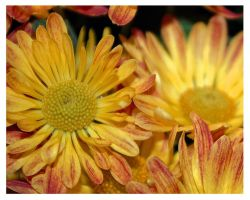 Chrysanthemum by JenniferSpriggs