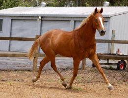 TB - Extended trot by Chunga-Stock