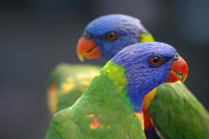 Rainbow Lorikeets by sunquai