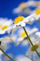 daisys by photoflacky