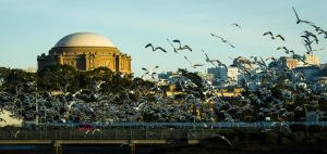 Flock Amongst the Palace of Fine Arts by thevictor2225