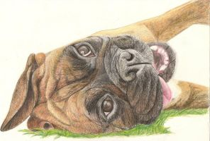 Bailey Boxer by RachelsPetPortraits