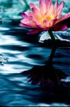 Water Lilly 5 by Art-Photo