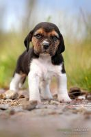 Beagle by vadalein
