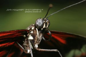 Tiger Longwing by guitarjohnny