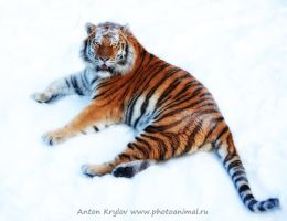 Tiger on the snow 5 by Jagu77