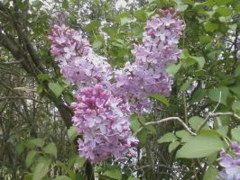 Lilacs2 by Lemonflavoredkittens