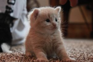 Fuzzy Kitten by chase009