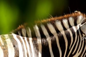 Zebra by MarryMc