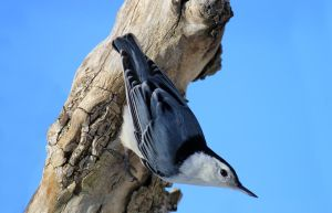 White Breasted Nuthatch 2 by WisteriaPhotography