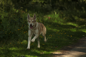 Wolfdog stock 1 by Bundy-Stock