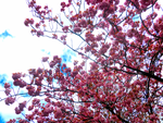 Pink Blossoms -14- by IoannisCleary